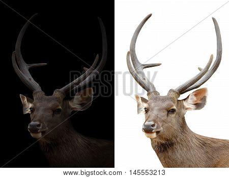 Sambar Deer On Dark And White Background