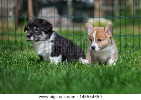 two adorable welsh corgi puppies posing together