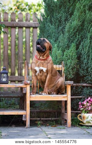 dogue de bordeaux dog outdoors in summer