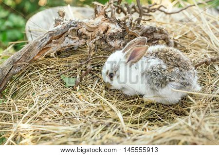 Cute little bunny rabbit and tree exposed roots on hay on natural background