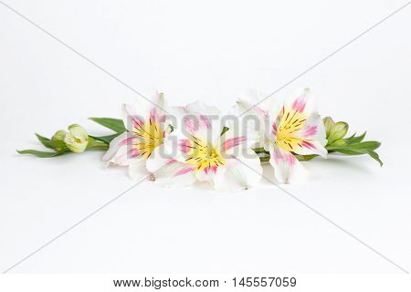 White, pink and yellow alstroemeria flowers isolated on white background