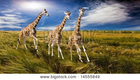Three giraffes run on the field