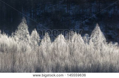 Trees covered with morning hoarfrost on a background of a dark forest