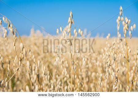 Ripe oats ears in the field. Oats growing in a field.
