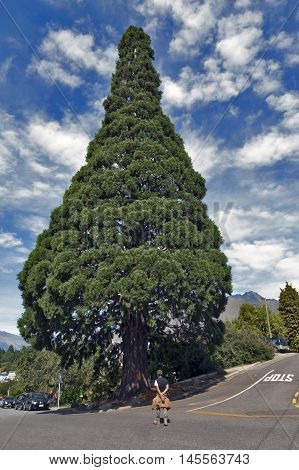 Queenstown New Zealand - March 2016: Big cedar tree standing in town center of Queenstown New Zealand
