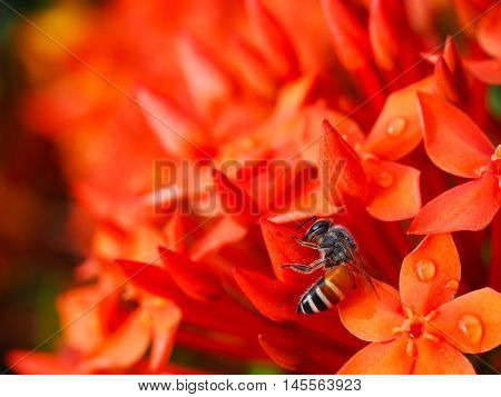 Bee is sucking nectar from red ixora flowers in the graden.