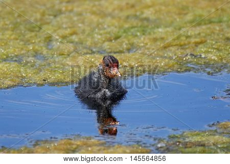 Juvenile Eurasian coot (Fulica atra) swimming in water in its habitat