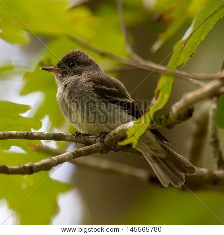 Juvenile Eastern Wood Pewee (Contopus virens) perched on a branch