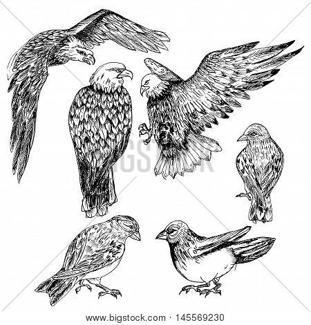Vector illustrations. Eagles. Birds of North America. Hand drawn sketches.
