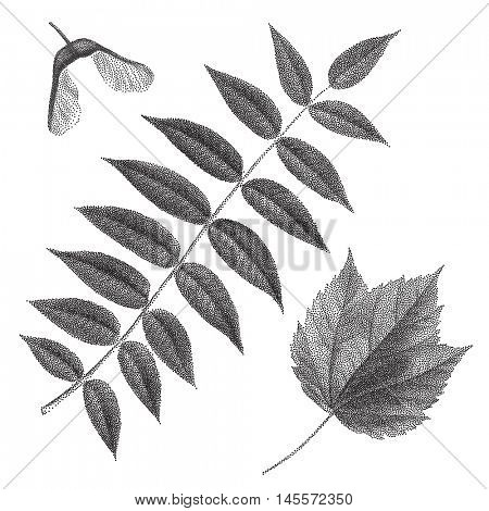 Black vintage engraving of autumn leaves on black background. Vector autumnal rowan leaf and helicopter maple seed  retro illustration