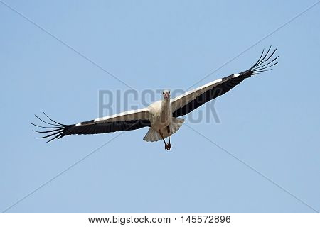 White stork (Ciconia ciconia) in flight with blie skies in the background