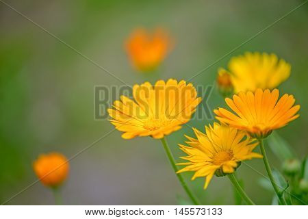 Close up view of calendula flowers over blur background
