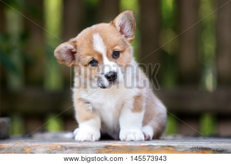adorable red and white welsh corgi puppy