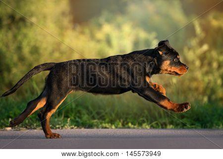 adorable rottweiler puppy running outdoors in summer