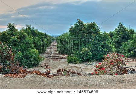 Dirt paths running between the rows of avocado trees.