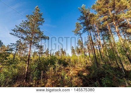Pine forest landscape at the bog land
