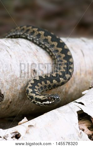 Common European Adder basking on Silver Birch logs