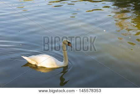 White Swan Bird on Pond Water Surface