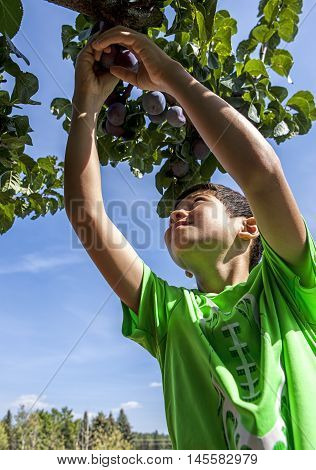 Young boy reaches up for the plums.