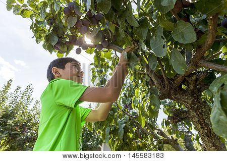 Boy looks for plums to pick. A young boy reaches up to pluck a plum from the tree.