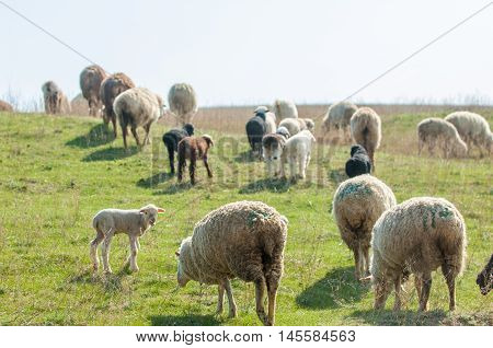 sheep. sheep grazing in the foothills, rural, summer