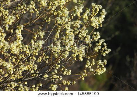 Spring willow buds yellow. bees pollinate, bush