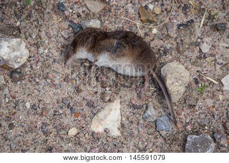 Dead bat lying on the ground, dead animal