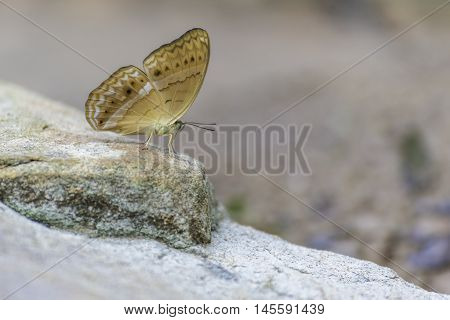Brown Butterfly on rock in nature (Tropical forest)
