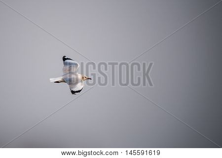 Brown-headed gull flying in the sky (Thailand)