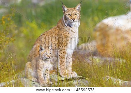 Beautiful young lynx cub and mother sitting in a green meadow in the forest in the summer.