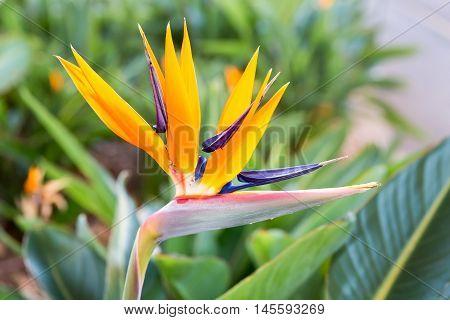 Macro photo Crane flower or Strelitzia reginaei