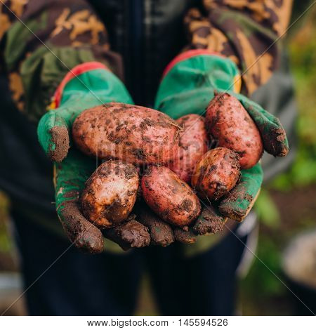 Fresh potatoes in farmer's hands. Soilwork concept.