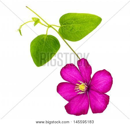 Pink Clematis Flower Isolated on White Background Studio Photo