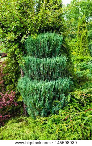 Green trimmed coniferous tree of Thuja - Arbor vitae. Thuja is an evergreen coniferous tree. Thuja tree in the garden.