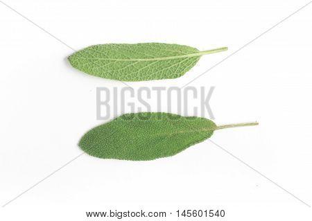 Salvia. Commo Garden sage in white background