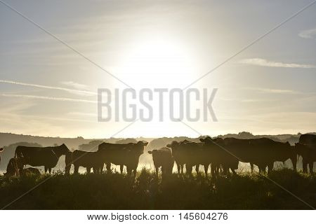 Morning Misty Cows