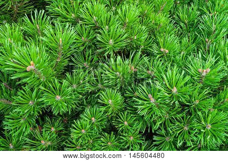 Mountain Pine - natural closeup view. Bright green Dwarf Pine. Dwarf conifer pine tree - closeup view.