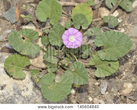 Mallow-leaved Bindweed - Convolvulus althaeoides Pink Wild Flower from Cyprus