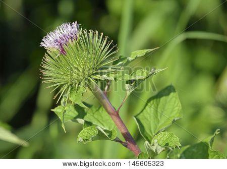 Greater Burdock - Arctium lappa Large Bur Plant