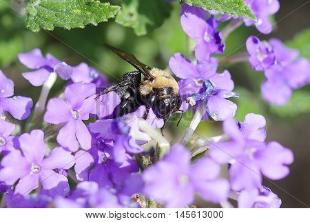 Very large bumblebee pollinating on purple flowers close up macro.