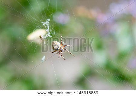 Aracnido de 8 patas comiendo en su tela