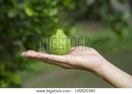close up of woman hand holding bergamot on tree