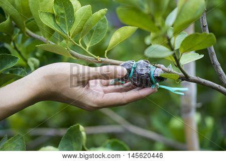 hand holding a graft on green lemon branch