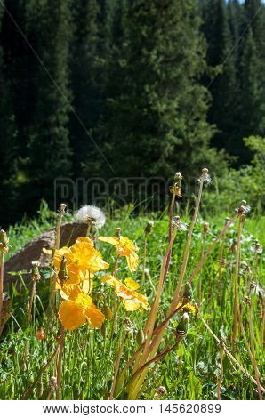 Yellow Poppies In The Mountains
