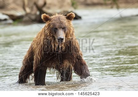 Brown bear in search of prey. Kurile Lake in Southern Kamchatka Wildlife Refuge in Russia.