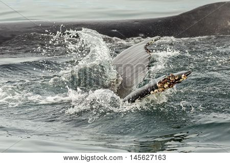 Couple humpback whales in the Pacific Ocean. Water area near Kamchatka Peninsula.