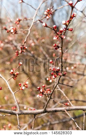 Spring Apricot Blossoms