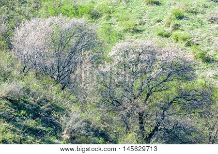 Apricot Flowers Mountains