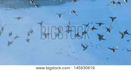 Ducks Winter