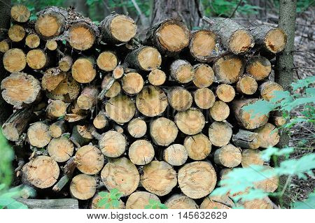 Heap Of Fresh Trunks In A Forest